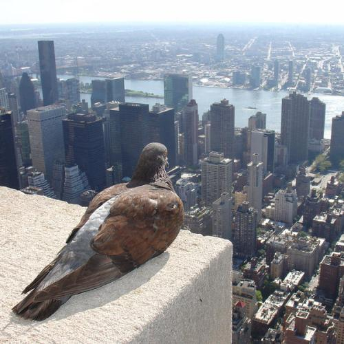 Empire State Pigeon (photo credit ZeroOne/ photo on Flickr)